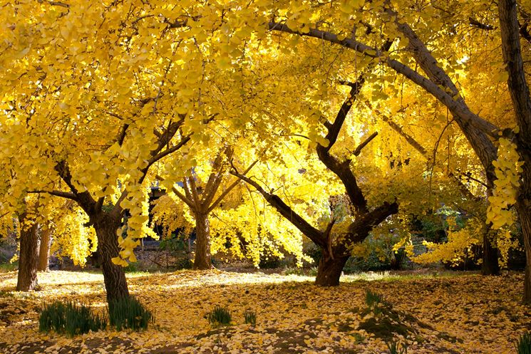 albero di ginkgo biloba